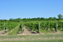 Druivenwijngaarden Stock Foto's