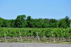 Druivenwijngaarden Royalty-vrije Stock Foto