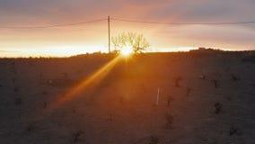 Druivenwinterslaap op een droog woestijngebied met wijngaarden op de achtergrond van een mooi zonsondergang luchtschot stock videobeelden