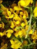 Drukken van de van de Achtergrond citisus de wilde kleine bloem macrobehang fijne kunst royalty-vrije stock afbeeldingen