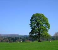 drumlanrig橡木春天结构树 免版税库存图片