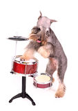 Drummer dog. Isolated on white background royalty free stock images