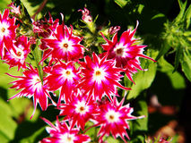 Drummondii флокса & x27; Блеск Star& x27; стоковые изображения rf