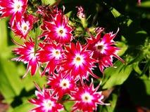 Drummondii флокса & x27; Блеск Star& x27; Стоковые Фотографии RF