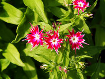 Drummondii флокса & x27; Блеск Star& x27; стоковое изображение