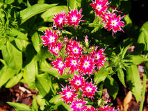 Drummondii флокса & x27; Блеск Star& x27; стоковое изображение rf