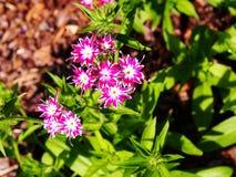 Drummondii флокса & x27; Блеск Star& x27; стоковые фото