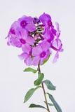 Drummondii rose de phlox Photographie stock