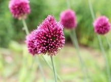 Drumstick лукабатуна, также известный как sphaerocephalon, производит 2-тонизированные, Бургундский-зеленые головы цветка Стоковая Фотография RF