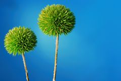 Drumstick Allium. Dried green drumstick allium plant over blue background Stock Photography