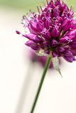 Drumstick Allium Flower Bloom Royalty Free Stock Images