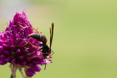 Drumstick Allium Flower Bloom and Wasp Royalty Free Stock Photo