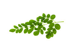 Drumstick leaf isolated Royalty Free Stock Photo