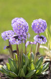 Drumstick primula. On a lawn royalty free stock image