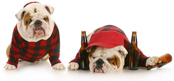 Drunk as a dog. Drunk dogs - two english bulldogs that have partied too hard Stock Images