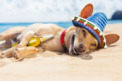Drunk  dog on the beach Royalty Free Stock Images