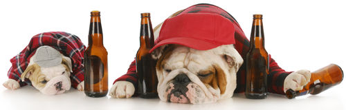 Drunk dogs. Drunk as a dog - english bulldog father and son with beer bottles Stock Photo