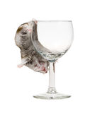 Drunk hamster royalty free stock images
