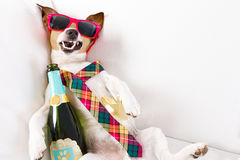 Drunk hangover dog. Drunk jack russell terrier dog resting or sleeping hangover with headache, with bottle and glass , wearing sunglasses and tie Stock Images