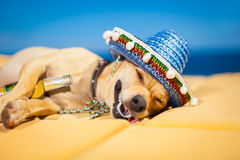 Drunk mexican dog. Drunk chihuahua dog having a siesta with crazy and funny silly face royalty free stock photography