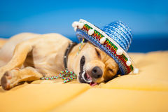 Drunk mexican dog. Drunk chihuahua dog having a siesta with crazy and funny silly face stock photos
