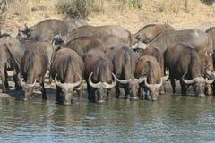 drunking vatten för buffel royaltyfria foton