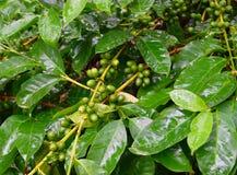 Drupas verdes verdes e folhas da planta do café - goma-arábica de Coofea na plantação, Kerala, Índia Fotografia de Stock Royalty Free