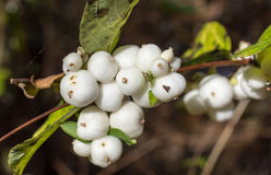 Drupes of Common snowberry, Symphoricarpos albus Royalty Free Stock Photography