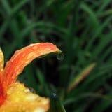druppel Bloem na regen Stock Foto