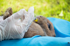 Druppelaar voor konijn Stock Afbeeldingen