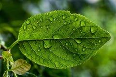 Druppeltjes van water op een blad van een pruimboom Royalty-vrije Stock Fotografie