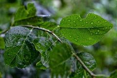 Druppeltjes van water op een blad van een pruimboom Royalty-vrije Stock Foto's
