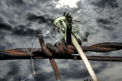 Drut kolczasty i dandelion Zdjęcie Royalty Free