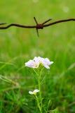 Drut kolczasty i kwiat Piękno i brzydota dziki kwiat Środowisko ochrona Chroniony przez Obrazy Royalty Free