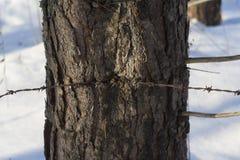 Drut kolczasty w drzewie Fotografia Stock