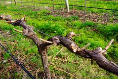 druva beskuren vine Royaltyfria Bilder