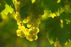 Druva för gult vin arkivfoto