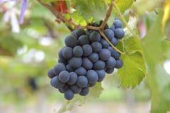 Druva i vingården Royaltyfri Bild
