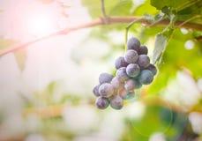 Druva som är ny i vingårdgruppen av röda druvor på vinrankaintelligensen Royaltyfria Bilder