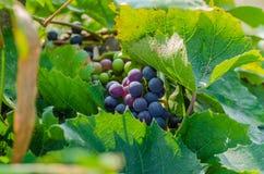 Druva vinranka, bär, sött som är läckert, skörd, jordbruk, höst Arkivfoton