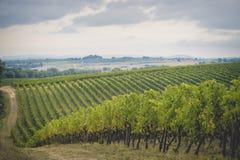Druvafälten i Tuscany Royaltyfri Foto