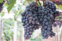 Druvafrukt på träd arkivbild