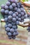 Druvafrukt på träd Arkivfoto