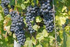 Druvahängning från en vinranka Organiska druvor i höst Vingårdar på en Sunny Day i Autumn Harvest royaltyfri bild