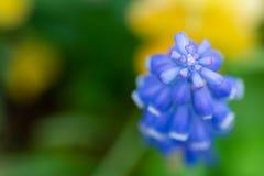 Druvahyacint Royaltyfria Foton