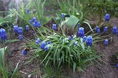 Druvahyacint i trädgården royaltyfri foto