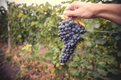 Druvamakro i wineyard Royaltyfri Foto