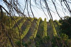 Druvan sätter in Napa Valley på vägen till Santa Rosa Arkivbilder
