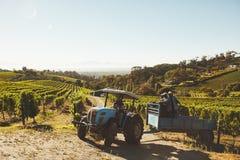Druvaplockarelastbil som transporterar druvor från vingård till vinfa Arkivfoto