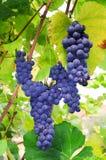 druvarött vin Royaltyfria Bilder